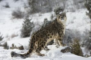 Snow leopard in winter scene andBeyond expedition