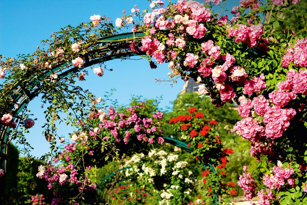 Rosenblüte England Bayerisches Pilgerbüro