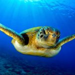 segara_pr_münchen_andBeyond_Oceans_Without_Borders_green_turtle
