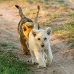 segara_PR_Agentur_München_andBeyond_Ngala_White_lion_cub
