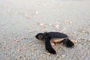 segara_PR_Agentur_München_Tourismus_andBeyond_OWB_Vamizi_Island_Turtle_Watching