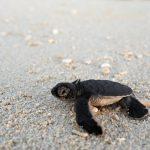 segara_PR_Agentur_München_andBeyond_OWB_Vamizi_Island_Turtle_Watching