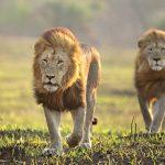 segara_PR_Agentur_München_andBeyond_two_lions