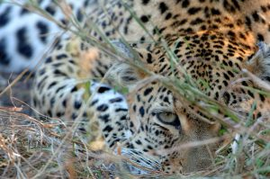 segara_PR_Agentur_München_andBeyond_Wildlife_South_Africa_Ngala_Leopard_eye_in_grass