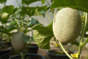 segara_PR_Agentur_München_Tourismus_Chiva-Som_Organic_Garden_Cantaloupe