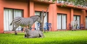 AVANI Victoria Falls Resort ZebrasGrazing