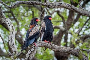 andBeyond Botswana Bateleur Eagle