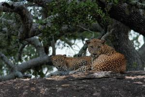 Chena Huts Leoparden