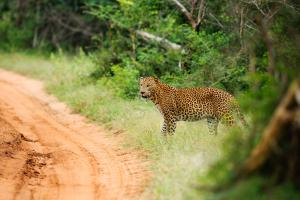 Chena Huts by Uga Escapes Leopard in Yala