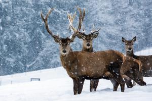 Gut Steinbach Rotwild im Winter 13