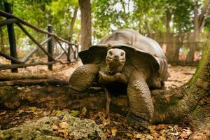 Raffles Seychelles Tortoise