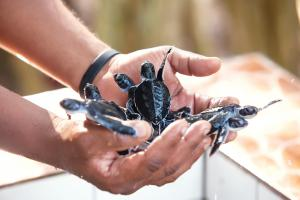 Wa Ale Conservation Baby Turtles
