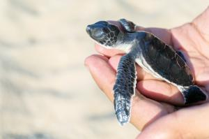 Wa Ale Conservation Young Turtle