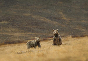 andBeyond Trans Himalayan Small Group Journey two bears